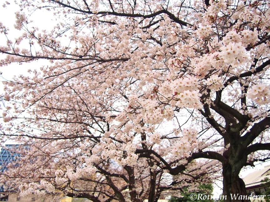 Tokyo Day Out 2019: Cherry Blossoms, Frank Lloyd Wright, Afternoon Tea